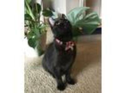 Adopt Galileo a All Black Domestic Shorthair cat in Winter Park, FL (25061928)