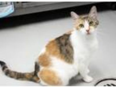 Adopt Olive a Calico, Domestic Short Hair