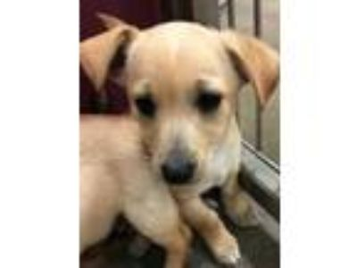 Adopt NOAH a Tan/Yellow/Fawn Cairn Terrier / Mixed dog in Tangent, OR (25818382)