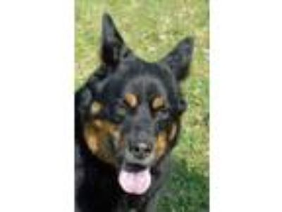 Adopt Mojo a Black Shepherd (Unknown Type) / Rottweiler / Mixed dog in