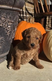 Labradoodle-Poodle (Standard) Mix PUPPY FOR SALE ADN-104349 - Labradoodle Puppies