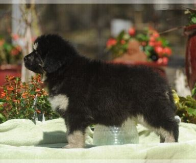Tibetan Mastiff PUPPY FOR SALE ADN-126801 - Tibetan Mastiff