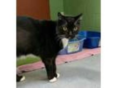Adopt Killian a All Black Domestic Shorthair / Domestic Shorthair / Mixed cat in