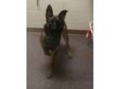 Adopt Hope a Black German Shepherd Dog / Belgian Malinois / Mixed dog in