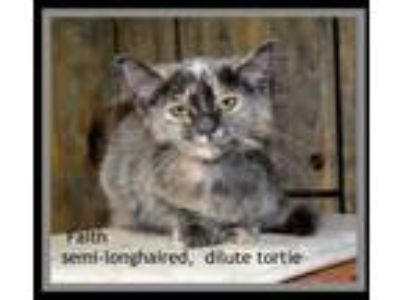 Adopt Faith a Dilute Calico, Domestic Short Hair