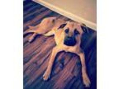 Adopt BooBear a Tan/Yellow/Fawn - with Black Boxer / Golden Retriever dog in