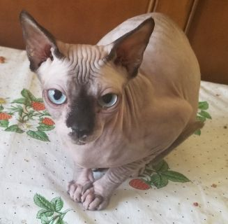 Adult female sphynx