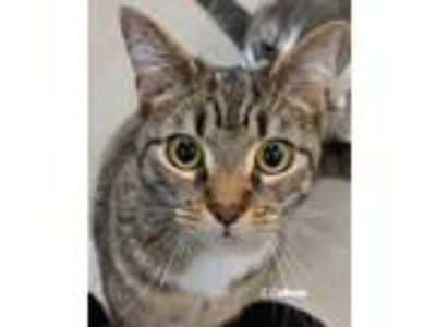 Adopt Mini a Domestic Short Hair, Tabby