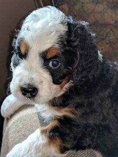 Miniature Bernedoodle-Bernese Mountain Dog Mix PUPPY FOR SALE ADN-82375 - Beautiful MINI BERNADOODLE Puppies