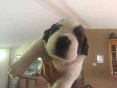 Saint Bernard PUPPY FOR SALE ADN-94946 - A  Magnificent Saint