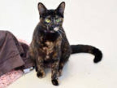 Adopt FANNIE a Tortoiseshell Domestic Shorthair / Mixed (short coat) cat in