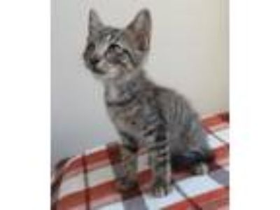 Adopt RUMBLE a Gray, Blue or Silver Tabby Domestic Shorthair (short coat) cat in