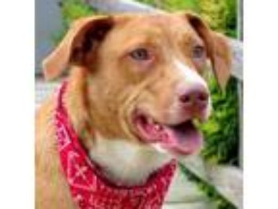 Adopt Nugget a Brown/Chocolate Australian Cattle Dog / Terrier (Unknown Type