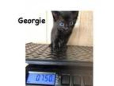 Adopt Georgie a Domestic Short Hair