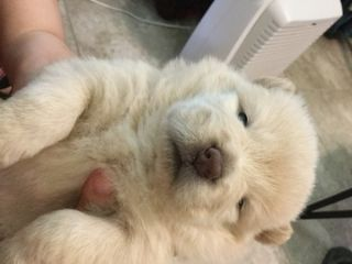 Chow Chow PUPPY FOR SALE ADN-78938 - Chow Chow Puppies for Sale Pure Breed