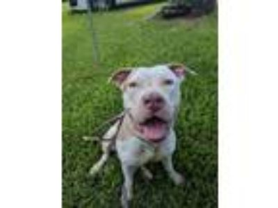 Adopt Cookie Rose a Pit Bull Terrier