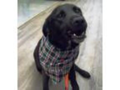 Adopt Jojo a Black - with White Labrador Retriever / Border Collie / Mixed dog