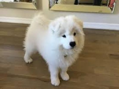 hhebe Male and female samoyed Puppies