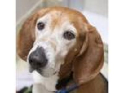 Adopt Benson a Hound, Mixed Breed