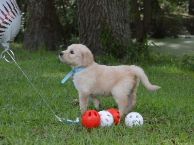 Goldendoodle PUPPY FOR SALE ADN-77799 - F1 standard Goldendoodles