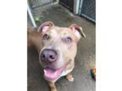 Adopt Ladders a Brown/Chocolate - with White Pit Bull Terrier / Mixed Breed