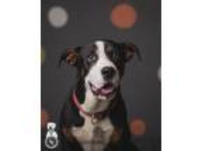 Adopt Patch a Bernese Mountain Dog, Pit Bull Terrier