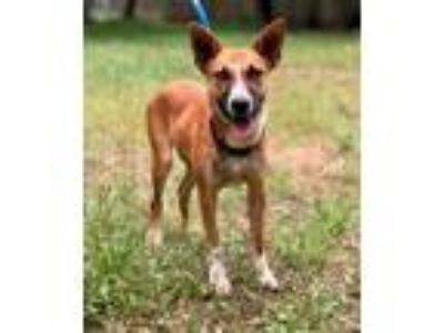 Adopt RIVER a Shepherd, Australian Cattle Dog / Blue Heeler