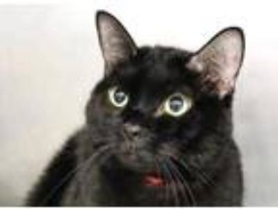 Adopt Marbles a All Black Domestic Shorthair / Domestic Shorthair / Mixed cat in