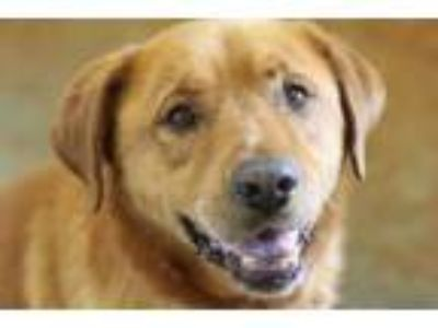 Adopt Big Red a Red/Golden/Orange/Chestnut Chow Chow / Labrador Retriever /