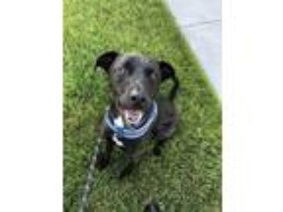 Adopt Dannie a Black Labrador Retriever / Terrier (Unknown Type