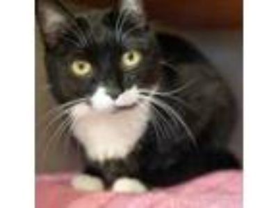 Adopt Janelle a Domestic Short Hair