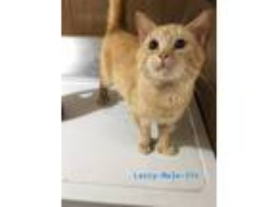 Adopt Larry a Orange or Red Domestic Shorthair (short coat) cat in