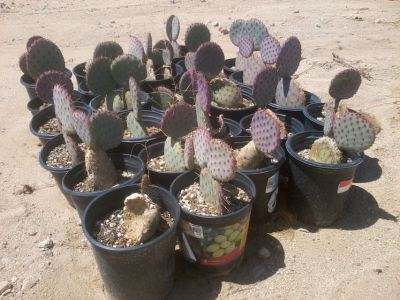 Prickly Pear Cactus--Santa-Rita Tubac (Purple)