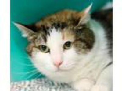 Adopt Momma Kitty a Domestic Shorthair / Mixed cat in Hot Springs Village