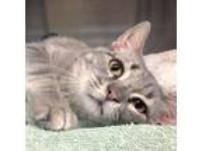 Adopt Dave a Gray or Blue Domestic Shorthair / Domestic Shorthair / Mixed cat in