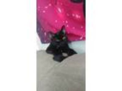 Adopt Melvin a Domestic Short Hair