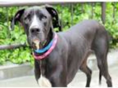Adopt Zeke a Black Great Dane / Mixed dog in Chicago, IL (25392091)