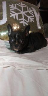 French Bulldog PUPPY FOR SALE ADN-110664 - Queen
