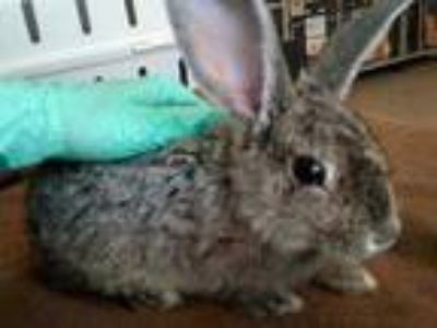 Adopt Jasmine a Grey/Silver Chinchilla, Standard / Other/Unknown / Mixed rabbit