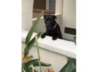 Adopt Delilah (lila) a Black Labrador Retriever / American Pit Bull Terrier dog