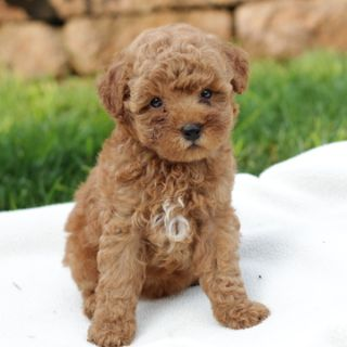 Poodle (Miniature) PUPPY FOR SALE ADN-95831 - Family Raised