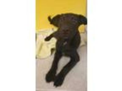 Adopt Chase a Black Labrador Retriever / Mixed dog in Bloomingdale