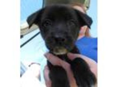 Adopt Zoink a Black Catahoula Leopard Dog / Mixed dog in West Memphis