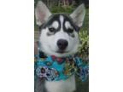 Adopt Puppy TOPAZ a Siberian Husky
