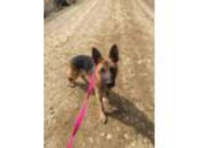 Adopt Rookie a German Shepherd Dog