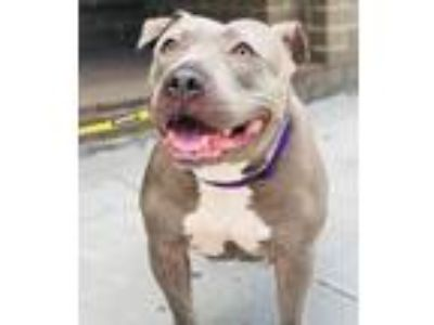 Adopt Demi a Pit Bull Terrier