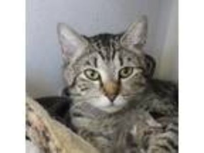 Adopt Queenie a Brown Tabby Domestic Shorthair (short coat) cat in Canyon