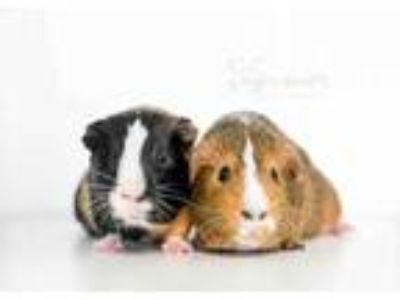 Adopt Zipper a Black Guinea Pig / Guinea Pig / Mixed small animal in