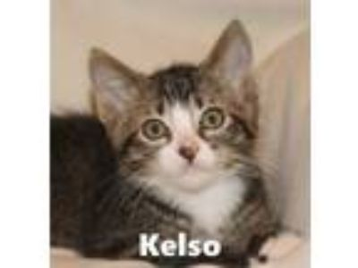 Adopt Kelso a Domestic Short Hair