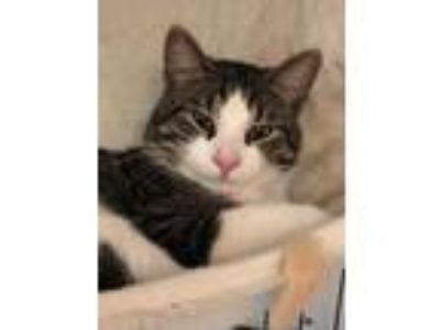 Adopt Timber a Domestic Short Hair